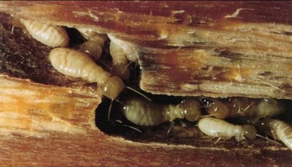 Cách diệt mối sàn gỗ bằng phương pháp dân gian