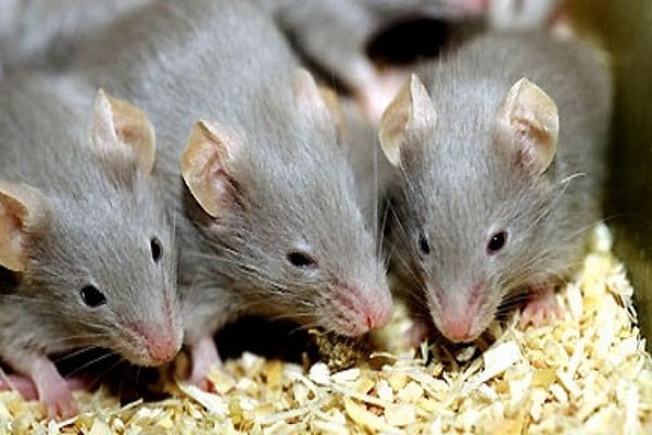 Mẹo đuổi chuột đơn giản bạn nên biết