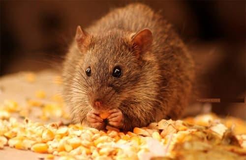 Đại chỉ bán thuốc diệt chuột uy tín