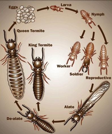 Bạn đã biết gì về loài mối? Cách diệt mối tận gốc?